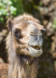 Animal camel Stock Images