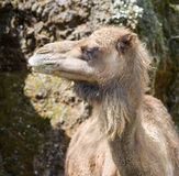 Animal camel Stock Photos
