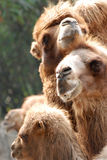 Animal camel portrait Royalty Free Stock Photo
