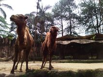 Animal camel in zoo. Nature desert stock images