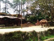 Animal camel in zoo. Nature desert stock image