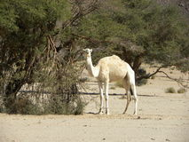 Animal, camello, desierto Argelia Imagenes de archivo