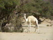 Animal, camelo, deserto Argélia Imagens de Stock