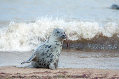 Animal camouflage. Grey seal hiding with seaweed on nose. Funny Royalty Free Stock Photos