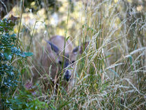 Animal Camouflage in the long grass -camouflaged deer. Doe in the long grass using it for camouflage royalty free stock photography