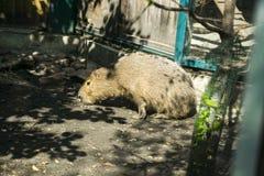 A capybara rodent. This is animal capybara, rodent family Royalty Free Stock Photos