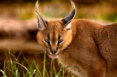 Animal - Caracal (caracal caracal de Caracal) Imagem de Stock Royalty Free