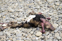 Animal carcass on a pebble beach. Dead animal carcass washed up on a pebble beach Stock Photography