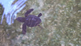 Animal Care. Newborn Sea Turtle Swimming in Water stock video