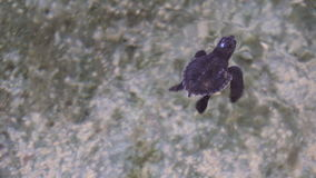 Animal Care. Newborn Sea Turtle Swimming in Water stock footage