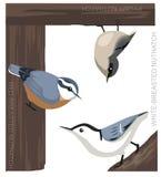 Bird Nuthatch Set Cartoon Vector Illustration. Animal Cartoon EPS10 File Format Stock Photos