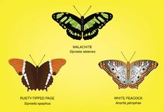Butterfly Malachite Set Vector Illustration Royalty Free Stock Images