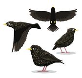 Common Starling Cartoon Vector Illustration Stock Photos