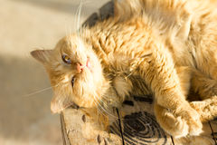 Animal,cat,close up Royalty Free Stock Images