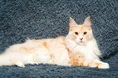 Animal cat at home Royalty Free Stock Photography