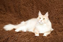 Animal cat at home Royalty Free Stock Images