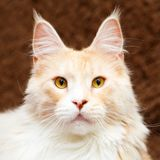 Animal cat at home Royalty Free Stock Image