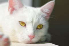 animal, cat, kitten, cat, white cat, cat portrait, yellow eyes, nose, lying on a white background, summer, white hair Stock Photo