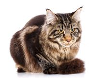 Animal, cat, pet concept - mainecoon. Male cat on a white background Royalty Free Stock Photos