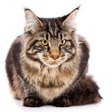 Animal, cat, pet concept - mainecoon. Male cat on a white background Royalty Free Stock Image
