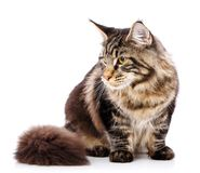 Animal, cat, pet concept - mainecoon. Male cat on a white background Stock Images