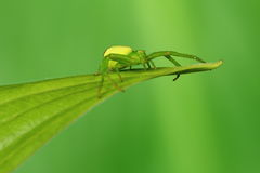 Animal categories: wild green spider. Eastphoto, tukuchina, Animal categories: wild green spider Royalty Free Stock Photography