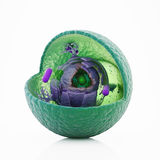 Animal cell cut-away. Scientifically correct 3d illustration Royalty Free Stock Photo