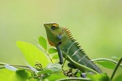 Animal, Chameleon, Close-up stock images