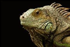Animal, Chameleon, Close-up royalty free stock images