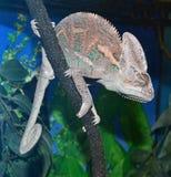 Animal chameleon Royalty Free Stock Photography