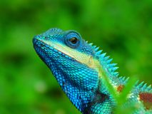 Animal Chameleon Thailand. A small slow-moving Old World lizard with a prehensile tail, long extensible tongue, protruding eyes that rotate independently, and a Royalty Free Stock Image