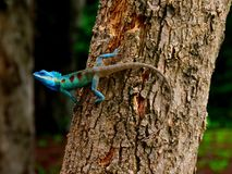 Animal Chameleon Thailand on tree. A small slow-moving Old World lizard with a prehensile tail, long extensible tongue, protruding eyes that rotate independently Royalty Free Stock Image
