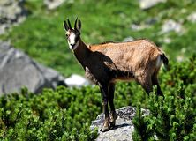 Animal - chamois Stock Photo