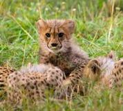 Animal cheetah baby Stock Photos