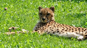 Animal is a cheetah in nature. Detailed view of the animal is a cheetah in nature Stock Photos
