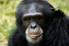 Animal - chimpanzé (Troglodyte da bandeja) Fotografia de Stock Royalty Free