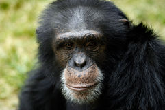 Animal - Chimpanzee (Pan Troglodyte) Royalty Free Stock Photography