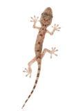Animal chinese gecko Royalty Free Stock Photo