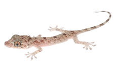Animal chinese gecko Royalty Free Stock Photos