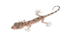 Animal chinese gecko Stock Image
