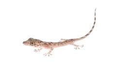 Animal chinese gecko Stock Photo