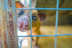 The animal civet in a cage, is used for the production of expensive most gourmet coffee Kopi Luwak, in Bali Indonesia Royalty Free Stock Images
