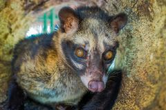 The animal civet is used for the production of expensive most gourmet coffee Kopi Luwak, in Bali Indonesia Royalty Free Stock Photos