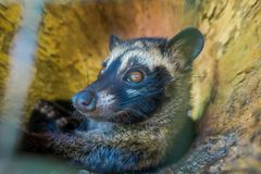 The animal civet is used for the production of expensive most gourmet coffee Kopi Luwak, in Bali Indonesia Stock Images
