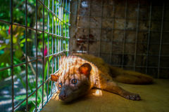 The animal civet is used for the production of expensive most gourmet coffee Kopi Luwak, in Bali Indonesia Royalty Free Stock Photo