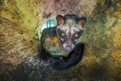 The animal civet is used for the production of expensive most gourmet coffee Kopi Luwak, in Bali Indonesia Royalty Free Stock Photography