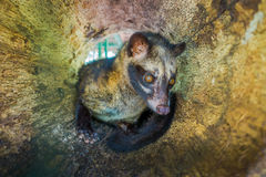 The animal civet is used for the production of expensive most gourmet coffee Kopi Luwak, in Bali Indonesia Stock Image