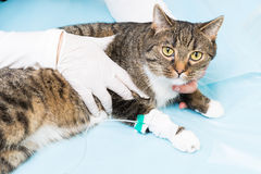 Animal clinic - cat becomes a infusion Stock Image