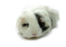 Animal - cobaye (porcellus de Cavia) Photos stock