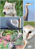 Animal collage. Royalty Free Stock Photography